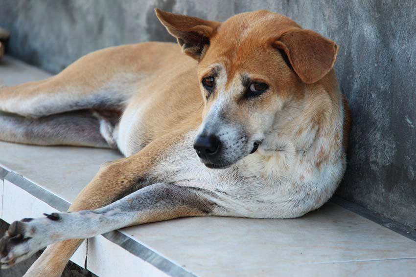 Bali Dog